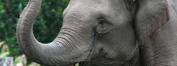 Asian_Elephant_8.13.2012_Hero_And_Circle_HI_247511.jpg